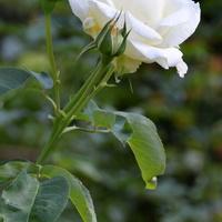 Róża w parku (Ż. Wola)