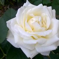 Róże Nadal Kwitną