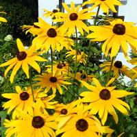 Rudbekia,słoneczny  kwiat