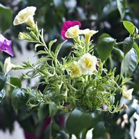 Tarasowe kwiatki