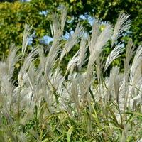 Trawy ozdobne w O.B.