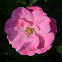 Życzę Wam różowych snów