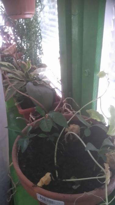 Róźne typy zieleni na parapecie.