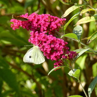 Budleja i motyl