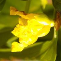 Forsycjowy kwiatek...