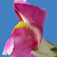 Kwiatek motylkowy