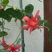 Passiflora Murucuja