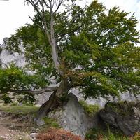 potężne drzewo na jurajskiej skale