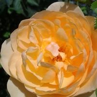 Róża imieninowa dla Teni