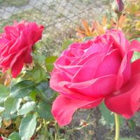 Róze już trochę jesienne....