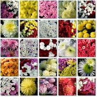 Chryzantemy,piękne jesienne kwiaty.