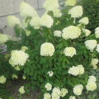 hortensja ogrodowa-