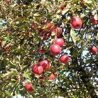 Jabłka doskonałe na przetwory
