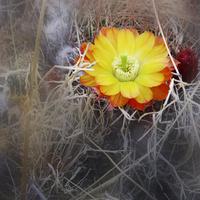 Kwiaty Peru