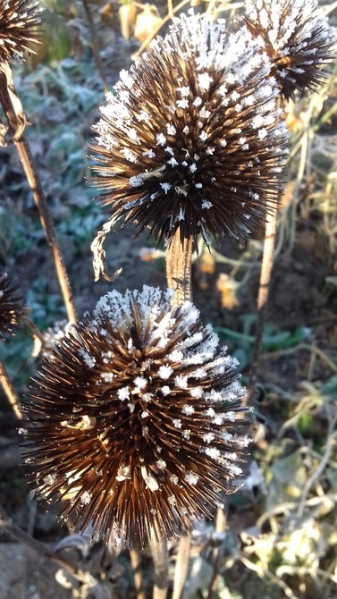 jeżówki w zimowej scenerii