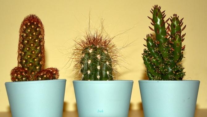 Kaktusowate rośliny, może kiedyś zakwitną