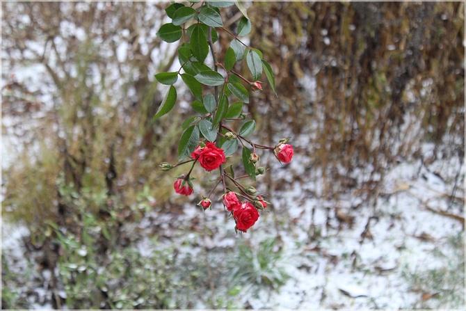 Zimowe różyczki...