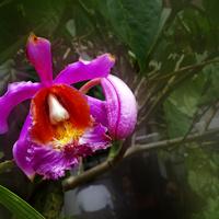 Arundina Graminifolia (storczyk Bambusowy)
