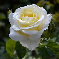 biały kwiat