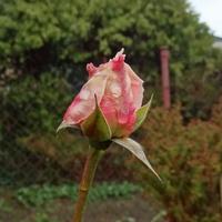 Grudniowa róża