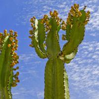 Kaktusy na pustyni....