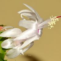 Kwiat grudnika