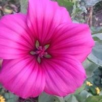 kwiat malope