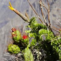 Mutisia acuminata i kaktusy
