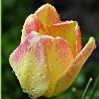 Na tulipanowy....