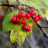 Owoce kaliny jesienią