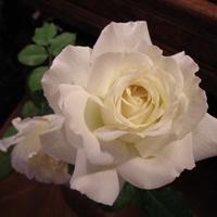 Róża Jan Paweł II