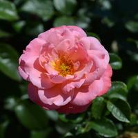 Róż Na Dobre Sny
