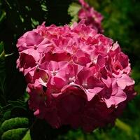 Różowa Kula ......