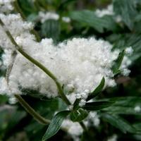 Trochę sztucznego śniegu na choinkę;)