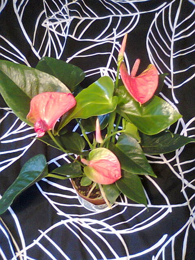Anturium andreego różowo-zielone