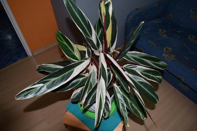 Calathea Stromanthe.