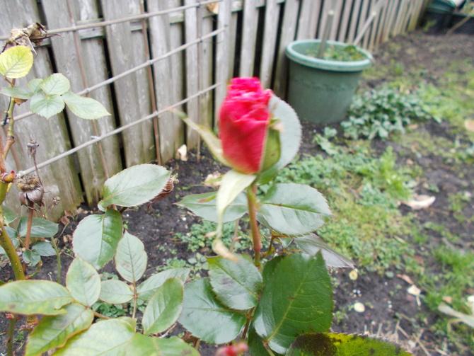 Roza zima.