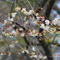 a wiśnia japońska kwitnie na całego...