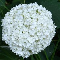 Biały kwiat jak śnieg