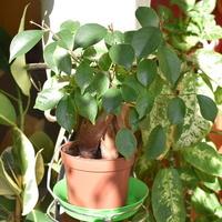 Ficus retusa.