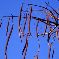 Nasiona Katalpy