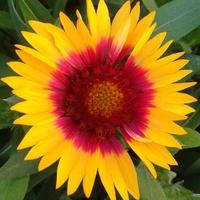 Ognisty kwiat gailardii