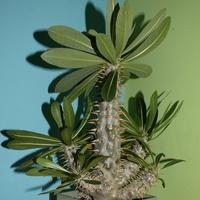 Pachypodium Lamerei.