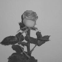Róża dla Basi mojej imienniczki