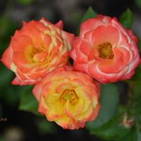 Róże (na jednej łodydze) tworzą kształt serca