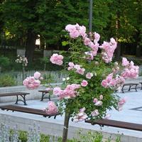 Róże w Polanicy Zdroju