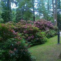 Rododendrony  w Polanicy Zdroju