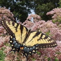 Słoneczny motylek