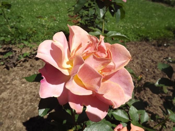 Płatki róż chyba można...
