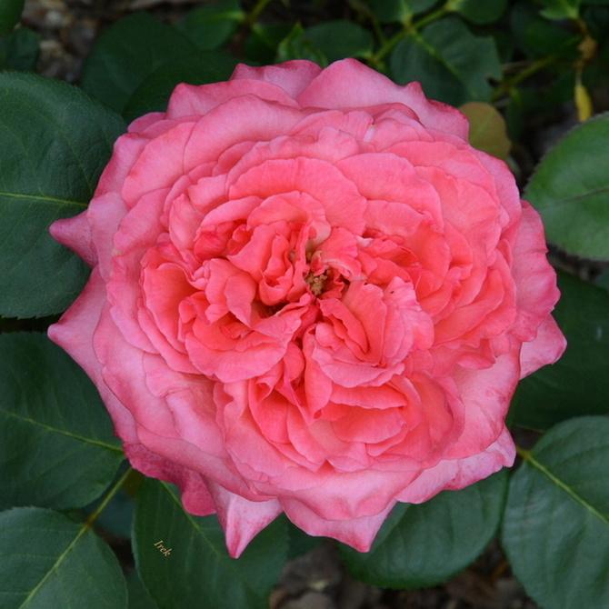 Róża na dobranoc
